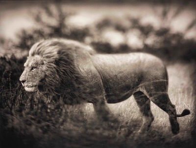 Nick Brandt, ' Windswept Lion, Serengeti', 2002
