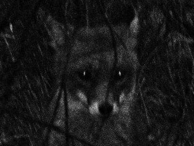 Trent Parke, 'The Fox, Adelaide', 2010