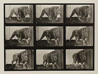 Eadweard Muybridge, 'Plate 721. Lion; walking.', 1887