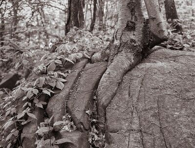 Lee Backer, 'Birch Tree and Rock, Stocks State Forest, New Jersey'