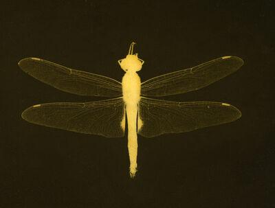 Kate Breakey, 'Dragonfly'