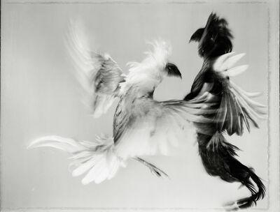 Hiro, 'Game Fowl (35-39), Maryland', 1988