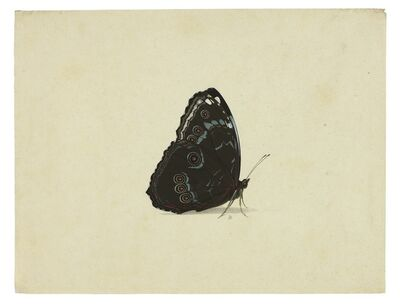 Pieter Holsteyn, the younger, 'Blue Morpho with wings folded', ca. 1640