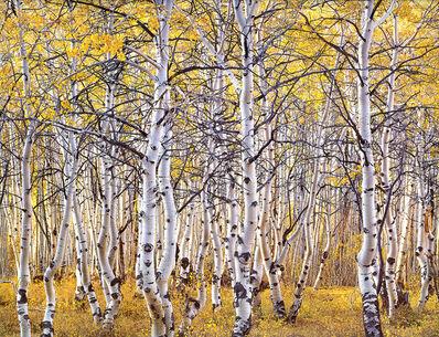Christopher Burkett, 'Black Mountain Aspen Forest, Utah', n.d.