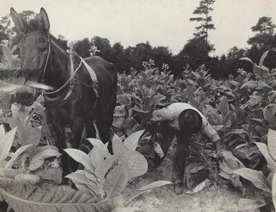 Rosalie Gwathmey, 'Tobacco Picker', 1943