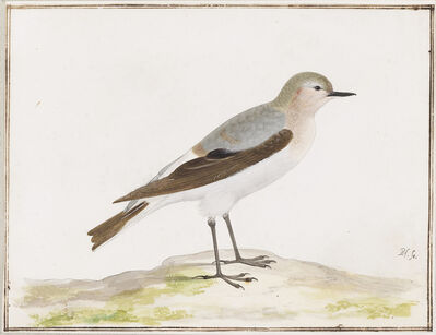 Pieter Holsteyn, the younger, 'Northern Wheatear', ca. 1640