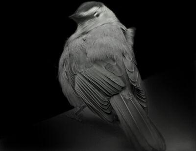 Elliot Ross, 'Gray Catbird, 2015', 2015