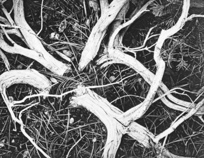 Ansel Adams, 'Manzanita Twigs in Kings River Sierra', 1939