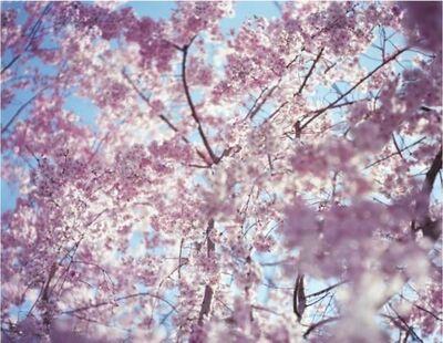 Risaku Suzuki, 'Sakura <<13,4-33>>', 2013