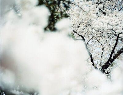 Risaku Suzuki, 'SAKURA 12,4-2', 2012