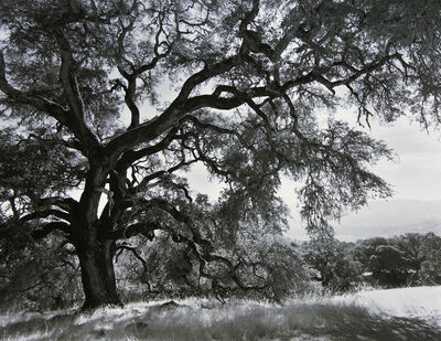 Robert Taylor, 'Overreaching Oak, California', 2013