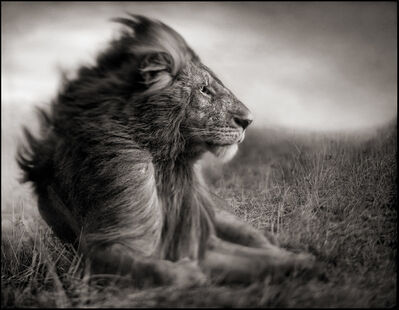 Nick Brandt, 'Lion Before Storm II - Sitting Profile, Maasai Mara', 2006