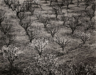 Ansel Adams, 'Orchard, Early Spring near Stanford University', ca. 1940
