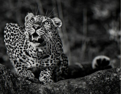 David Yarrow, 'Ground Alert', 2016