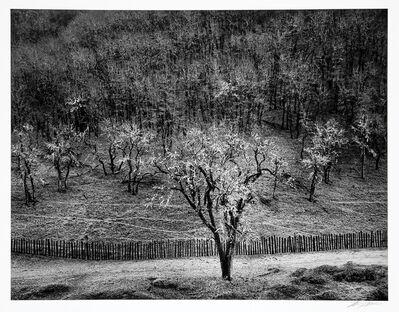 Ansel Adams, 'Oak Tree Rain, Sonoma County, California', 1960