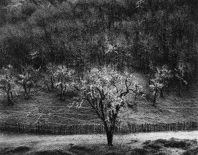 Ansel Adams, 'Oak Tree, Rain, Sonoma County, California, 1960', 1960