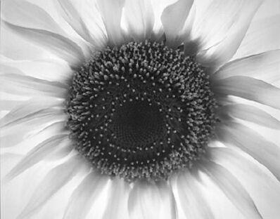 Paul Caponigro, 'Sunflower', 1965