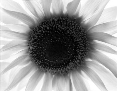Paul Caponigro, 'Sunflower, Winthrop, MA', 1965