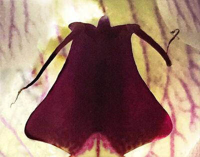Joel Grey, 'Orchid (Magenta)', 2018