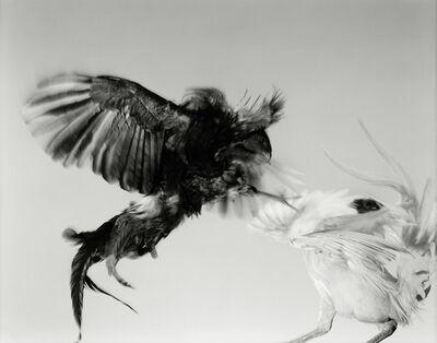 Hiro, 'Game Fowl (F80-53), Maryland', 1988