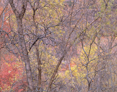 David G. Peterson, 'Forest Detail, Fall, Zion National Park', 2007