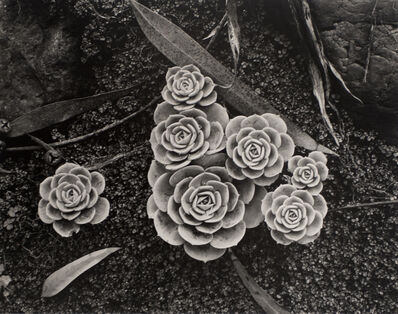 Brett Weston, 'Succulents', 1942