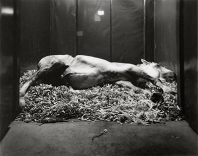 Andrea Modica, 'APOLLO, French Percheron, Castration, Bagnarola di Budrio, Italy, 2014', 2014