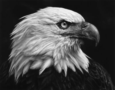 Robert Longo, 'Untitled (American Bald Eagle)', 2017