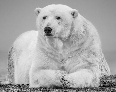 David Yarrow, 'The Statesman II', 2018