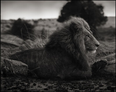 Nick Brandt, 'Lion on Burned Ground', 2012