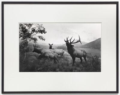 Hiroshi Sugimoto, 'Wapiti', 1980