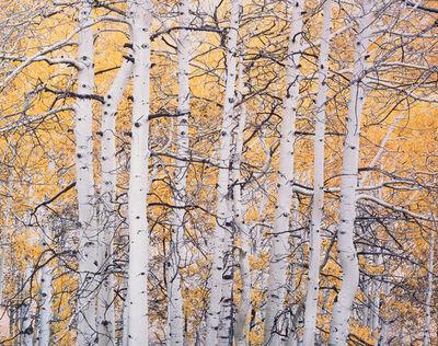Christopher Burkett, 'High Mountain Aspens, Colorado', 1993