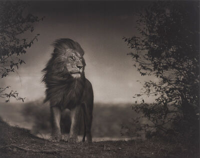 Nick Brandt, 'Lion Before Storm I, Masai Mara', 2006