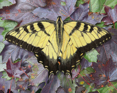 Rick Pas, 'Tiger Swallowtail/Maple', 2016