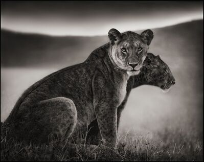 Nick Brandt, 'Sitting Lionesses, Serengeti 2002', 2002
