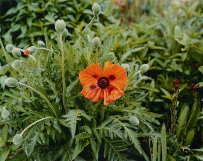 Stephen Shore, 'Orange Poppy', 2002