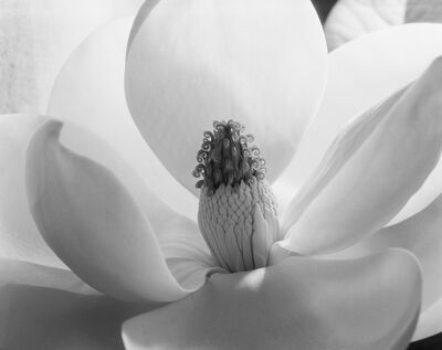 Imogen Cunningham, 'Magnolia Blossom', 1925