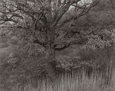 George Tice, 'Oak Tree, Holmdel, New Jersey', 1970-printed 1980