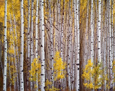 Christopher Burkett, 'Aspen Grove, Colorado', 1993