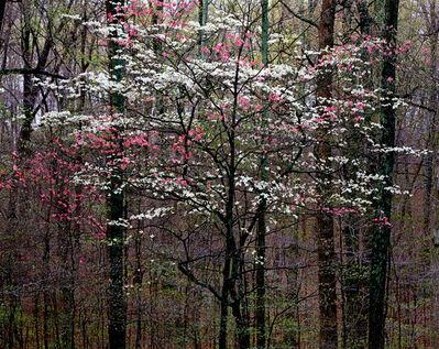 Christopher Burkett, 'Pink and White Dogwoods, Kentucky', n.d.