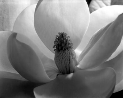 Imogen Cunningham, 'Magnolia Blossom, 1925', c. 1979-1999