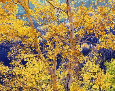 Christopher Burkett, 'Radiant Mountain Aspen, Colorado', 1997