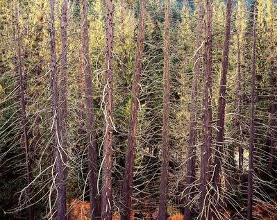 Christopher Burkett, 'Lolo Cedars, Montana', 2004