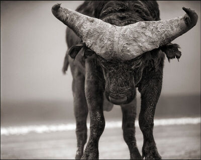 Nick Brandt, ''Buffalo with Lowered Head' Amboseli', 2007