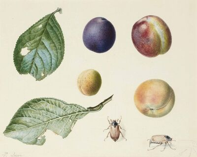 Pancrace Bessa, 'Two plum tree leaves, four different types of plums, two beetles, with a subsidiary study of a third one'