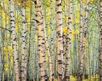 Christopher Burkett, 'Trout Creek Aspen Forest, Colorado', 2005