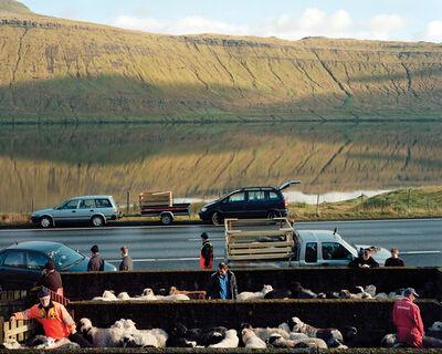 Benjamin Rasmussen, 'Sheep Being Rounded Up for Slaughter, Skalabotnur, Faroe Islands'