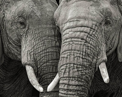 Paul Coghlin, 'Two Elephants', 2012