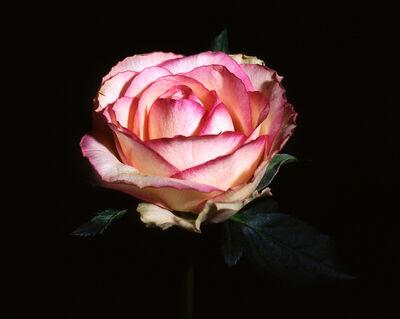 Ani Çelik Arevyan, 'Rose #4', 2005