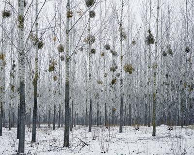 Tamas Dezso, 'Forest with Mistletoe (near Oradea, West Romania)', 2014